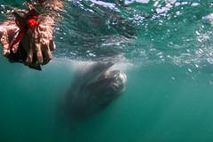 Showing off those teef! (kozyndan) Tags: ocean travel baby water mexico underwater bajacalifornia whale natue cetacean kozy californiagraywhale lagunasanignacio