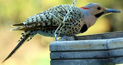 Late afternoon Flicker (114berg) Tags: lens illinois feeder peanut northern flicker geneseo canon18200mm canon70d 25april14