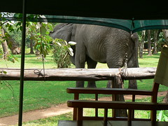 Our Visitor at Little Governors Camp ! (Mara 1) Tags: africa trees wild camp elephant animal chair kenya wildlife tent mara ropes planks masai littlegovernors