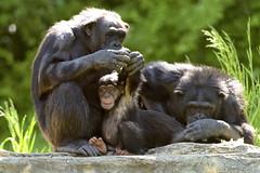 It Takes a Village (017988) (Mike S Perkins) Tags: love chimp mother son grooming chimpanzee animalplanet tenderness surrogate adoption caretaker kansascityzoo