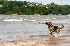River Dog 2 (Angry Lemur) Tags: dog pet dogs river virginia play richmond fetch belleisle rva jamesriver