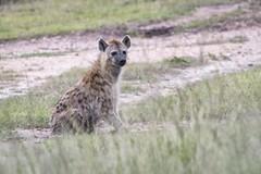 A hyena ready (charlesgyoung) Tags: africa tanzania nikon safari hyena d3 serengetinationalpark wildlifephotography charlesyoung d810 nikonfx nomadtanzania karineaignerphotographyexpedition