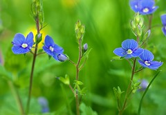 very little flower close-up (rgbshot72) Tags: world flowers blue flower macro green up grass spring nikon shine close little micro bloom bud d800e