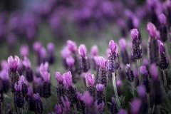 lavender Season  (T.ye) Tags: light sunlight plant field outside purple bokeh outdoor lavender todd depth ye  ourdoor