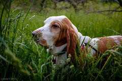 5/27/16 Photo 218 (GarrettHerzig) Tags: park dog grass fuji arboretum basset bassethound jamaicaplain 365project x100t fujix100t