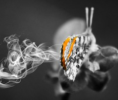 SSSSmokin !!! (Kathryns Photography) Tags: orange butterfly artwork fineart naturallight colourful photographicart coloursplash fineartphotography naturephotography naturelovers artphotography orangetipbutterfly colourpop naturenuts canon750d