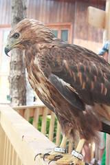 IMG_9652 (ali65852002) Tags: bird canon garden iran eagle d1100
