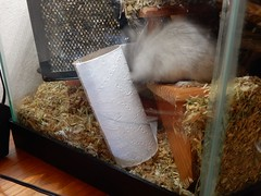 DSCN1010 (therovingeye) Tags: pets animals gerbil rodents gerbilhabitat