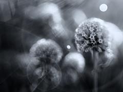 Monarda in Mono (Anne Worner) Tags: blackandwhite bw flower closeup lensbaby dead texas dry seeds seedhead lensflare flare rays beebalm monarda sunrays wildflower impressionistic incamera bokehorbs sweet35