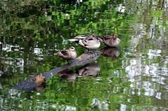 Anatre (Guido Andolfato) Tags: tronco friuli uccello riflesso fagagna anatre nikond300 vrzoom70300mmf4556gifed oasinaturalistiadeiquadris
