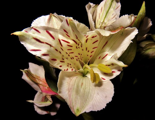 Lirio del Perú/Peruvian lily.
