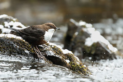 Dipper (Louise Morris (looloobey)) Tags: fish snow rain rocks stones platform riverbed dogbed dipper april2016 aq7i7689scotland2016