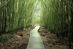 Bamboo Forest (hartvigs) Tags: green landscape landscapes bamboo haleakala nationalparks hdr travelphotography landscapephotography travellandscapes fujix100s x100s