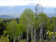 2016 05 19 Grand Teton national Park 36a (omigosz) Tags: mountain tree wyoming grandtetonnationalpark
