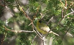 Wilsons Warbler (jd.willson) Tags: me nature birds island bay wildlife birding maine jd wilsons warbler penobscot willson islesboro jdwillson