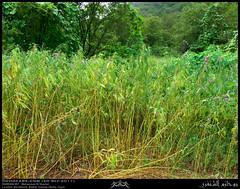2+ Meters Wild Balsam, Impatiens balsamina, Seedpods at Ain Athoom, Nashib, Salalah, Dhofar (Shanfari.net) Tags: wild green nature season lumix raw natural panasonic vegetation greenery lush oman fz impatiens balsam zufar rw2 salalah sultanate sarb dhofar  balsaminaceae balsamina impatiensbalsamina khareef    dufar      dhufar governorate dofar fz38 fz35 dmcfz35