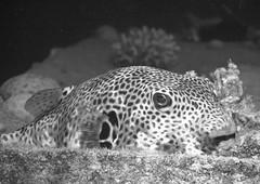 Giant Puffer (Knipsbildchenknipser) Tags: blackandwhite bw uw water blackwhite underwater redsea under egypt diving schwarzweiss tauchen nuwaibanuwaiba