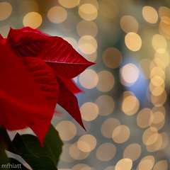 Poinsettia Bokeh | 336/365 (mfhiatt) Tags: christmas red leaf december bokeh poinsettia 100views photowalk odc sparkel views100 ourdailychallenge 2011yip 3652011 2011inphotos mfhiatt michaelfhiatt