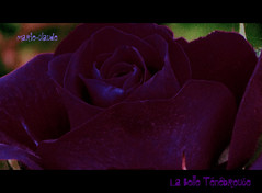LA BELLE TENEBREUSE (MYSTERIOUS and BEAUTIFUL)__on EXPLORE again...THANKS.(5/12/2011) (Maclo) Tags: flowers roses flores nature beautiful beauty canon poetry purple explore mysterious fiori spleen charlesbaudelaire lesfleursdumal flickraward flickrbronzeaward labelletenebreuse