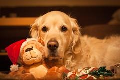 Xmas Immo #1 ( kerstin-horn.de) Tags: christmas xmas golden retriever immo godenretriever wwwkerstinhornde