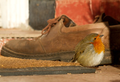 Robin having a siesta! (Mukumbura) Tags: uk autumn england house cold bird home nature robin sunshine boot shoe wind erithacusrubecula warmth somerset siesta doormat doorstep redbreast