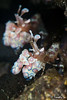 Halequine couple (timso) Tags: bali nikon underwater diving scubadiving fins underwaterphotography tulamben kenko14xtc d700 nikond700 timso