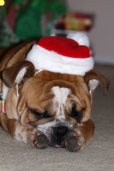 Bah Humbug! (Sweet_Dee) Tags: dogs virginia hike leesburg englishbulldog goosecreek landsdowne ashburn