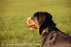 Alfie Profile (Linda Bliss) Tags: profile sennenhund entlebuchermountaindog alfieentlebucher