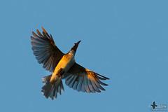 Noisy Friarbird (duffohyeah) Tags: canberra act australiancapitalterritory friarbird noisyfriarbird philemoncorniculatus
