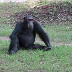 "Chimp <a style=""margin-left:10px; font-size:0.8em;"" href=""http://www.flickr.com/photos/14315427@N00/6505477749/"" target=""_blank"">@flickr</a>"