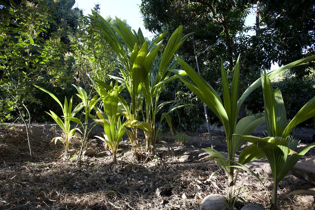 Parcelle mangues, plantation de Manuel J. Urbina BENITES