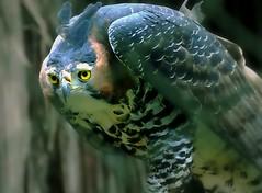 """Ready to Attack (Serlunar (tks for 5.6 million views)) Tags: animals flickr flickrduel serlunar """"flickraward"""""""