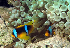 Anemone fish at Fanous East Reef, Red Sea, Egypt #SCUBA #UNDERWATER #PICTURES (Derek Keats) Tags: marine underwater redsea egypt scuba diving reef coralreef fanouseastreef