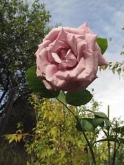 Rose in late September. (halina.reshetova) Tags: pink flowers autumn roses sky plants hennysgardens