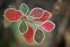 Ilusaid juluphi! (anuwintschalek) Tags: november autumn red macro green rot garden austria frost hoarfrost herbst 85mm grn garten niedersterreich raureif aed reif sgis 2011 micronikkor roheline hrmatis punane nikond90