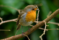 Christmas Robin on Boxing Day Morning (Mukumbura) Tags: christmas morning england tree bird robin garden outdoors erithacusrubecula wildlife boxingday somerset europeanrobin redbreast helper robinredbreast