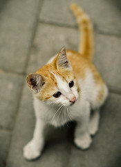 hello, Felicia (puguhindra) Tags: cats cute animal animals female cat indonesia interestingness interesting nikon kitten funny dof little bokeh kitty 85mm explore stare neko f2 lovely yogyakarta jogjakarta nikkor staring ugm bokehlicious af85mmf14d flickraward catmoments nikonflickraward
