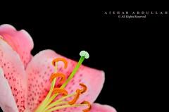 """الزَهور لغة يتداولهَا جميِع البشَر فيٍ العَالم لا تحَتاج لٍمٌترجَم"""" (Aishah Abdullah) Tags: flower زهرة الليليوم"""