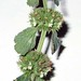 """Marrubium vulgare L., Lamiaceae • <a style=""""font-size:0.8em;"""" href=""""http://www.flickr.com/photos/62152544@N00/6596755721/"""" target=""""_blank"""">View on Flickr</a>"""