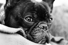 12-30-11 (796) Bath? What? (Lainey1) Tags: portrait bw face eyes chair nikon bokeh adorable down bulldog blanket mug frenchie frenchbulldog bully wrinkles ozzy frogdog d90 lainey1 nikond90 zendog ozzythefrenchie