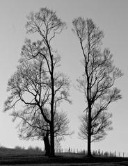 Trees in harmony...* (Harvey Dogson) Tags: uk sunset england tree northwest best explore cumbria flikcr morecambebay platinumphoto artofimages bestcaptureaoi amymit