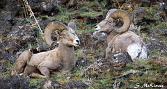 2 of a kind (S McKinzie / McKustoms) Tags: mountains animals canon outdoors wildlife rams nationalgeographic bighornsheep oregonwildlife montanawildlife oregonbighornsheep