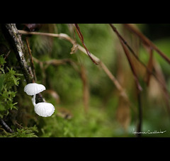 mini mundo :) (Adriana Casellato) Tags: macro mushroom mushrooms dof bokeh natureza fungi cogumelo cogumelos 105mm fungos adrianacasellato