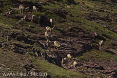 "Bighorn Sheep • <a style=""font-size:0.8em;"" href=""http://www.flickr.com/photos/63501323@N07/6690747063/"" target=""_blank"">View on Flickr</a>"