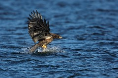 Eagle Fishing 2 D7K_3998 (Mully410 * Images) Tags: winter fish snow ice water birds river fishing eagle birding baldeagle mississippiriver birdsinflight birdwatching eagles birder wabasha lakepepin burdr afsnikkor500mmf4gvr