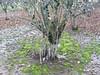 hazelnut tree suckers 2 (growing hazelnuts) Tags: hazelnuts hazelnuttree pruningtrees