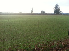 staking for new orchard (growing hazelnuts) Tags: trees tree farming hazelnuts hazelnuttree filberttree hazelnutorchard filbertbush