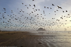 1000's of Gulls on Morro Strand State Beach at low tide with Morro Rock in background