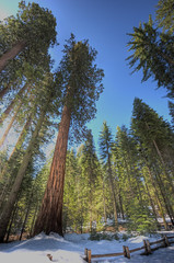 Sequoias in Yosemite (Daniel J. Mueller) Tags: park snow tree fence forrest national yosemite yosemitenationalpark sequoia hdr 7xp d3s mygearandme mygearandmepremium mygearandmebronze mygearandmesilver mygearandmegold mygearandmeplatinum