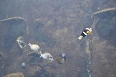 IMG_9003 (mert alp ztrk) Tags: ocean life sea fish nature water silhouette coral kids children wonder zoo aquarium shark amazing natural under cities twin istanbul trail tropical reef poseidon tropics bule tang atlantik arapaima akvaryum florya balk tropik istanbulaquarium istanbulakvaryum svey istabulakvaryum